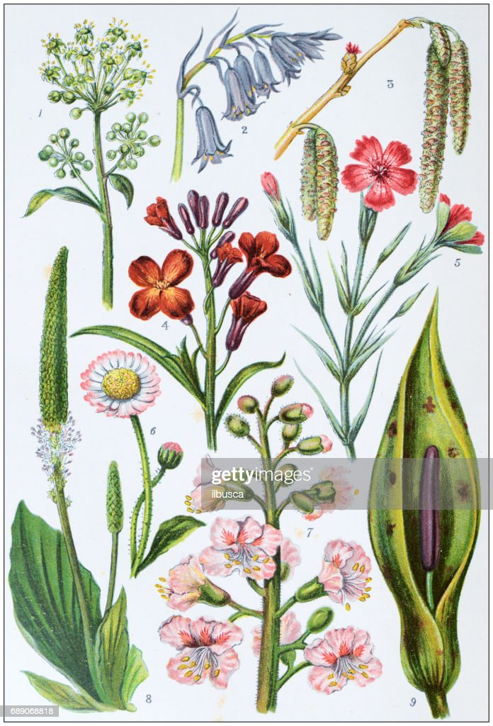 Antique colored illustrations: Flowers : Stock Illustration