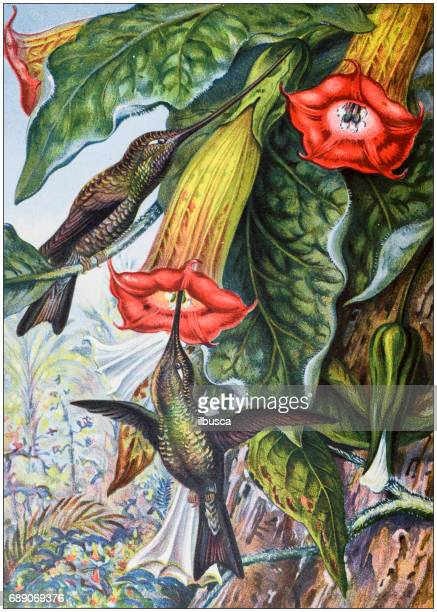 stockillustraties, clipart, cartoons en iconen met antieke gekleurde illustraties: hummingbird vruchtbaarmakende een brugmansia - het verleden