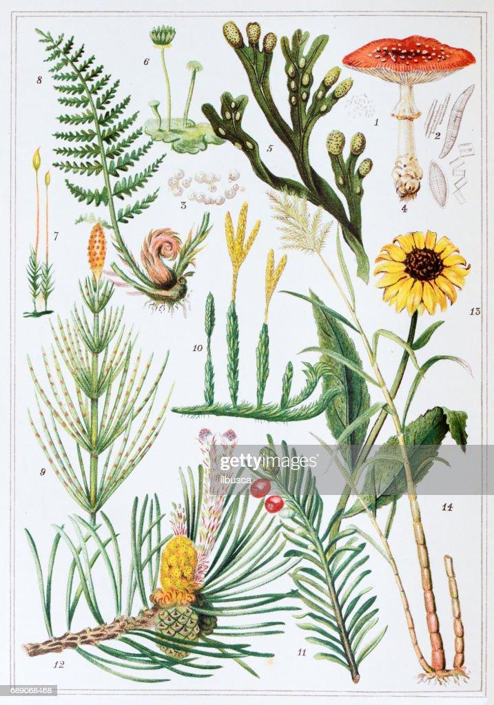 Antique colored illustrations: Plants : Stock Illustration