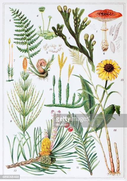 antique colored illustrations: plants - archival stock illustrations, clip art, cartoons, & icons