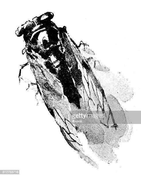 illustrations, cliparts, dessins animés et icônes de antique dotprinted aquarelle illustration de japon :  insecte - cigale