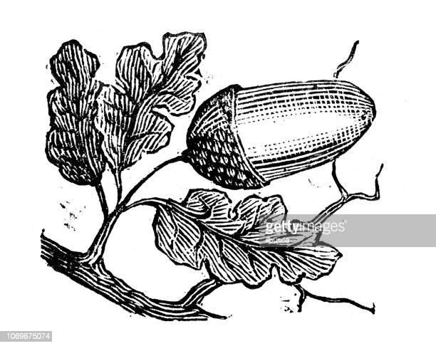 antique engraving illustration: acorn - oak leaf stock illustrations