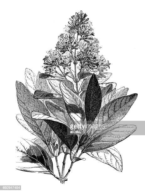 antique engraving illustration: cinchona calisaya - living organism stock illustrations, clip art, cartoons, & icons