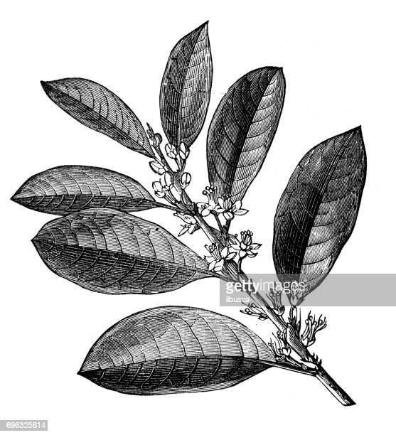 antique engraving illustration: coca - cocaine stock illustrations, clip art, cartoons, & icons