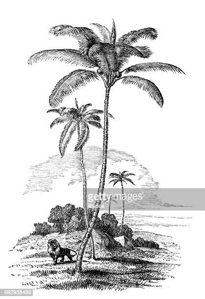 Antique engraving illustration: Coconut palm tree