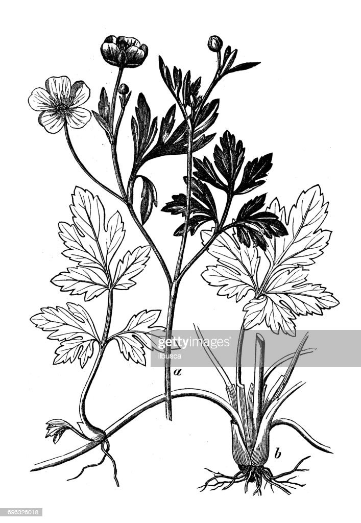 Antique engraving illustration: Creeping Buttercup (Ranunculus repens) : stock illustration