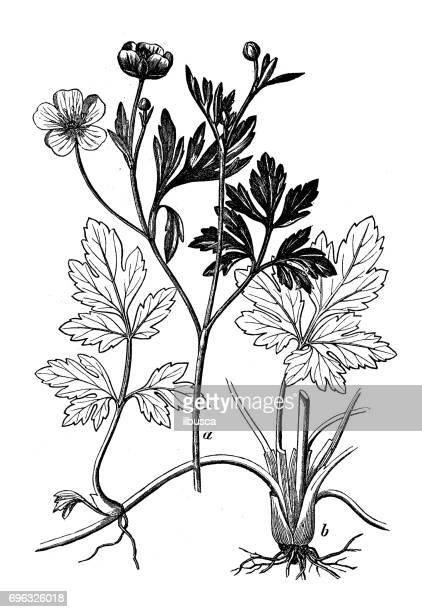 antique engraving illustration: creeping buttercup (ranunculus repens) - ranunculus stock illustrations, clip art, cartoons, & icons
