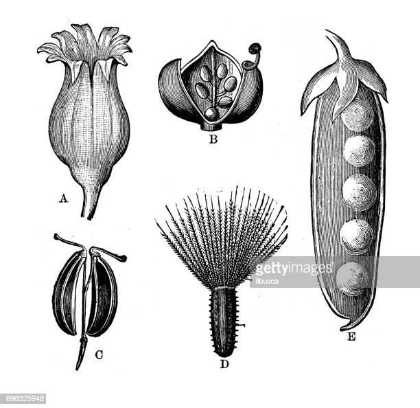 Antiguo grabado de la ilustración: flores y semillas