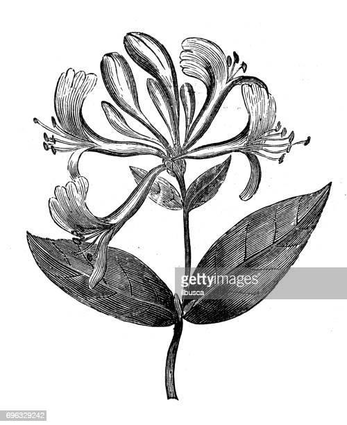 antique engraving illustration: honeysuckle (lonicera periclymenum) - arrowwood stock illustrations, clip art, cartoons, & icons