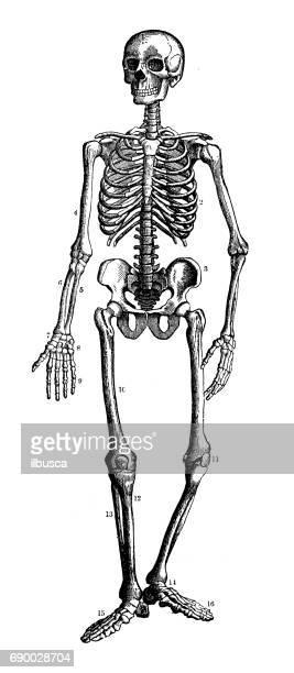 antiken gravur abbildung: menschliches skelett - human body part stock-grafiken, -clipart, -cartoons und -symbole