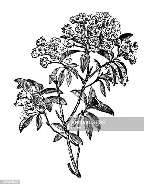 ilustrações, clipart, desenhos animados e ícones de antiga gravura ilustração: kalmia latifolia - mel do louro da montanha