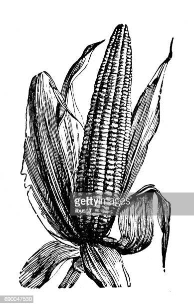 antique engraving illustration: maize - corn stock illustrations, clip art, cartoons, & icons