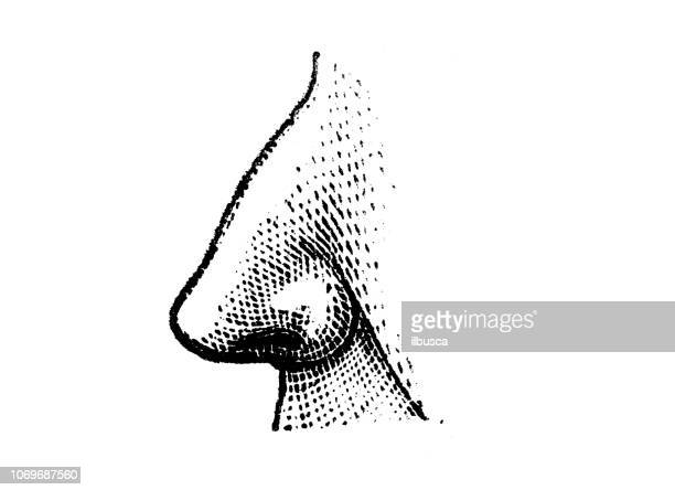 antique engraving illustration: nose - human nose stock illustrations