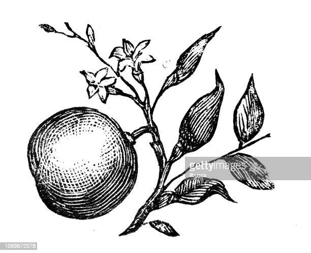 ilustraciones, imágenes clip art, dibujos animados e iconos de stock de antiguo grabado de la ilustración: naranja - citricos