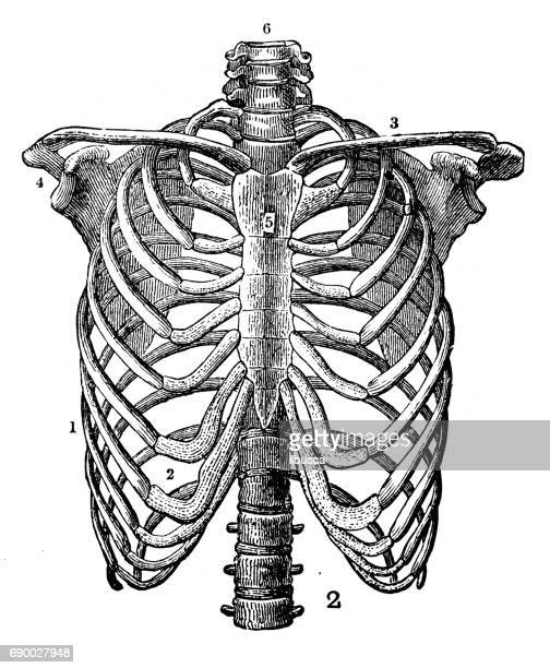 antique engraving illustration: rib cage - anatomy stock illustrations