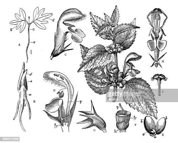 アンティーク彫刻イラスト: 種子や花 - イラクサ点のイラスト素材/クリップアート素材/マンガ素材/アイコン素材