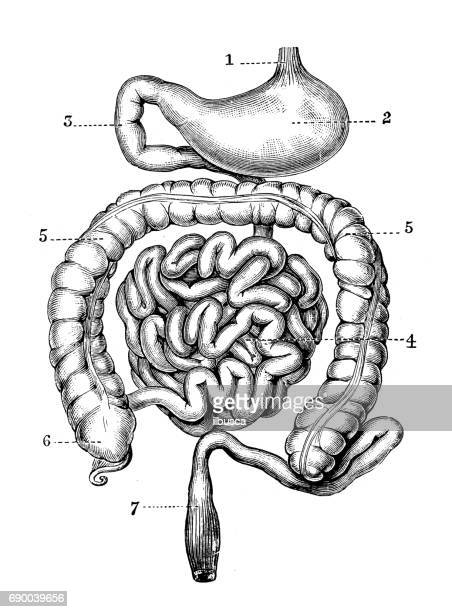 antique engraving illustration: stomach and intestines - human intestine stock illustrations