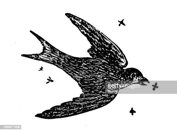Antique engraving illustration: Swallow