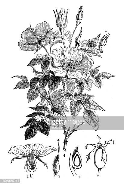 antique engraving illustration: wild rose or dog rose - rose flower stock illustrations, clip art, cartoons, & icons