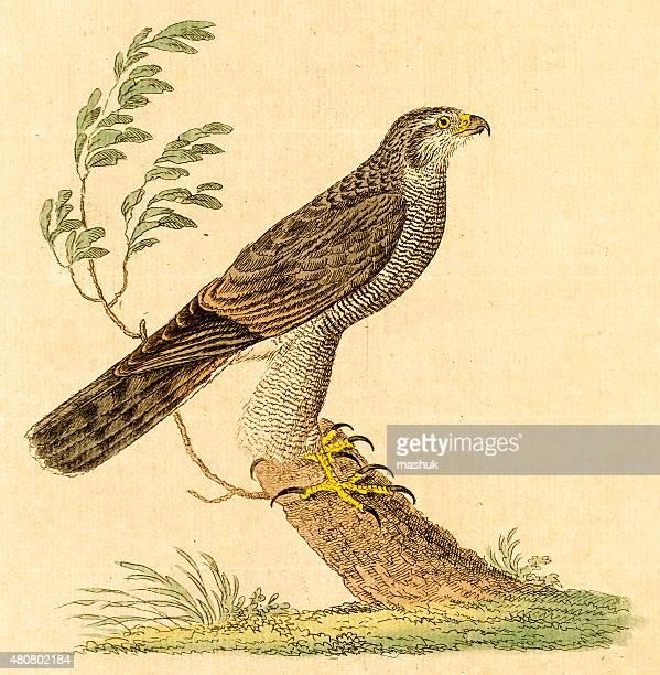 ilustrações de stock, clip art, desenhos animados e ícones de antigo gravação de um falcão - falcon bird