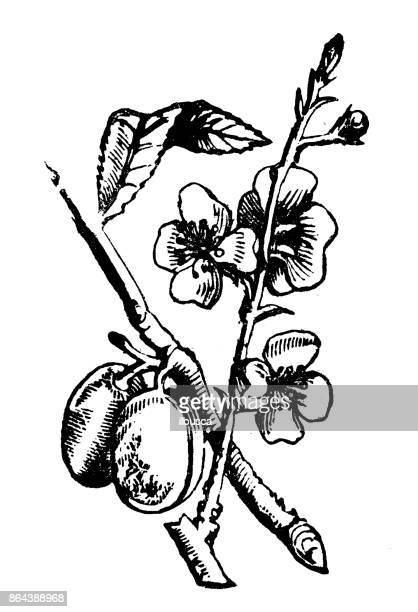 Antique household book engraving illustration, ingredients: Almond