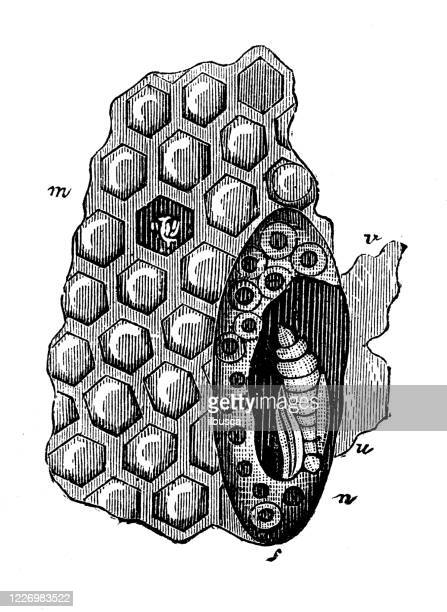 antique illustration: beekeeping honeycomb queen bee cell - queen bee stock illustrations