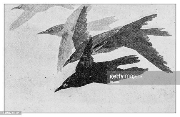 antique illustration: birds painting by japanese artist watanabe seitei - crow bird stock illustrations