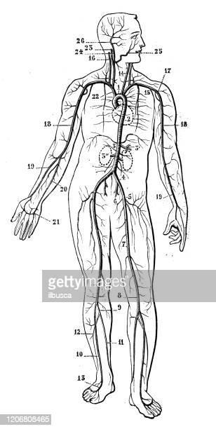 antique illustration: cardiovascular system - blood flow stock illustrations