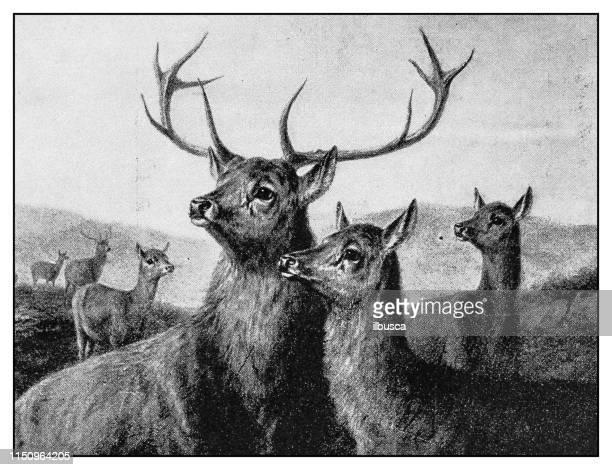 antique illustration: deer - stag stock illustrations
