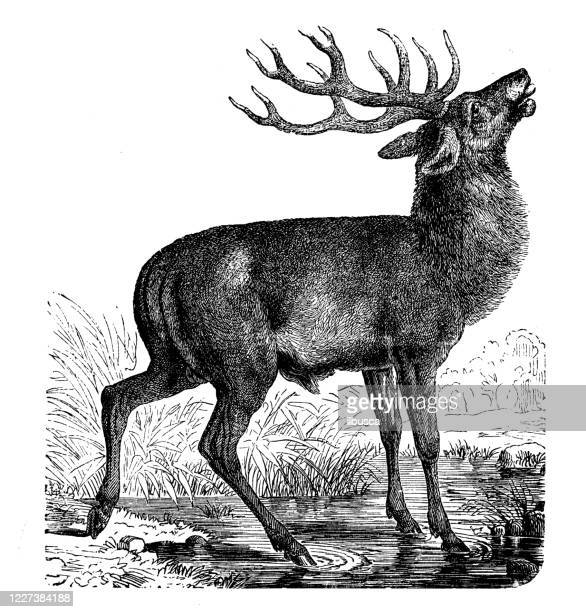 antique illustration: deer - one animal stock illustrations