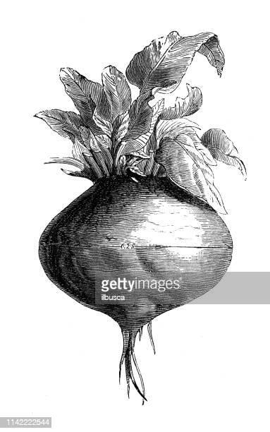 ilustraciones, imágenes clip art, dibujos animados e iconos de stock de ilustración antigua de la enciclopedia agrícola, planta: beta vulgaris (remolacha) - de archivo