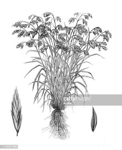Antique illustration from agriculture encyclopedia, plant: Bromus catharticus, rescuegrass, grazing brome, prairie grass, Schrader's bromegrass