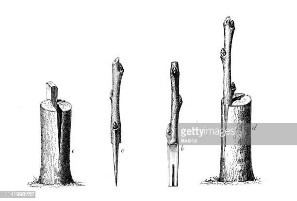 antique illustration from agriculture encyclopedia, plant: grafting or graftage - skin graft stock illustrations
