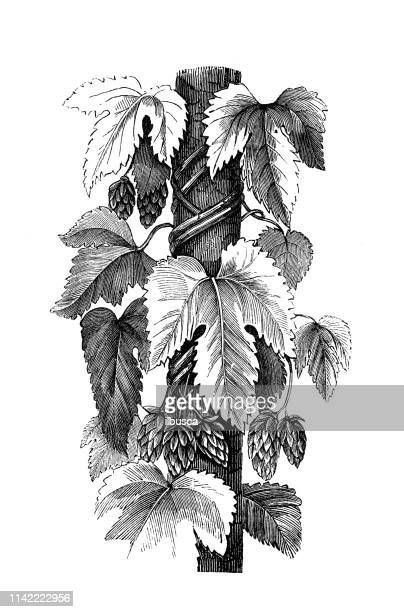 Antique illustration from agriculture encyclopedia, plant: Humulus lupulus (common hop)