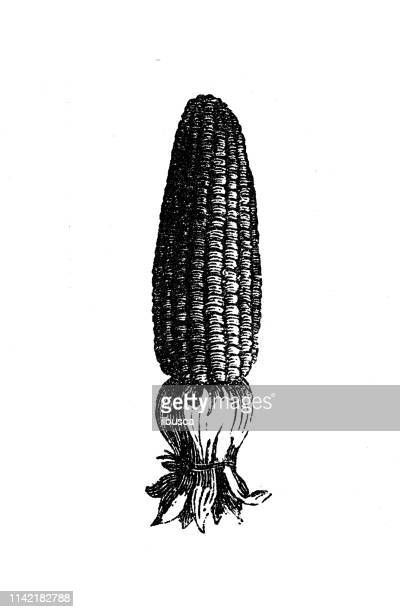 antique illustration from agriculture encyclopedia, plant: maize, corn (zea mays) - corn crop stock illustrations, clip art, cartoons, & icons