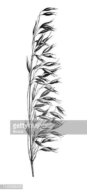 antique illustration from agriculture encyclopedia, plant: oat (avena sativa) - plant stem stock illustrations