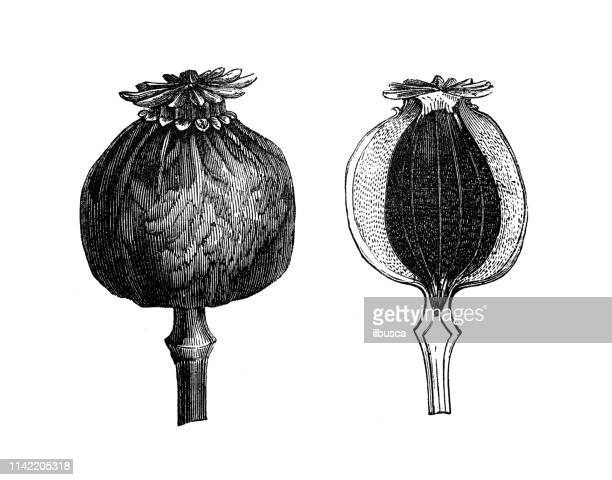 antique illustration from agriculture encyclopedia, plant: papaver somniferum, opium poppy, breadseed poppy - oriental poppy stock illustrations, clip art, cartoons, & icons