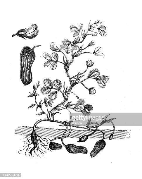 Antique illustration from agriculture encyclopedia, plant: peanut, groundnut, goober, monkey nut (Arachis hypogaea)