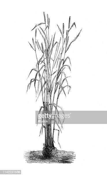 Antique illustration from agriculture encyclopedia, plant: Rye (Secale cereale)