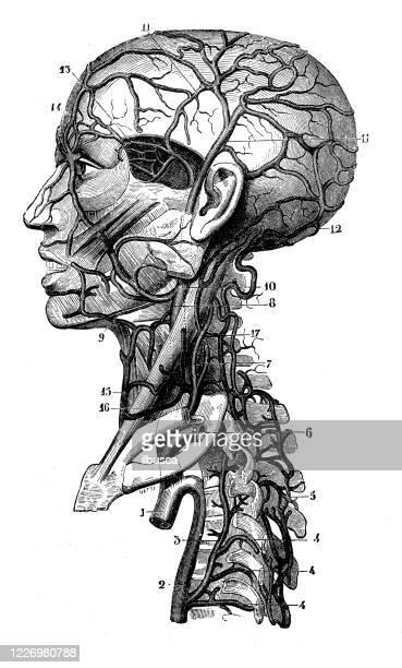 ilustraciones, imágenes clip art, dibujos animados e iconos de stock de ilustración antigua: venas y arterias de la cabeza - parte del cuerpo humano