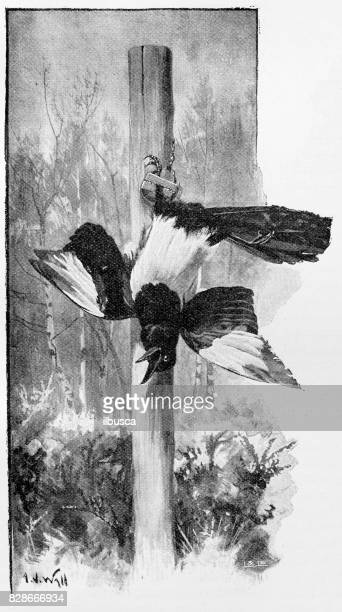 antique illustration: magpie caught in a hawk-trap - magpie stock illustrations