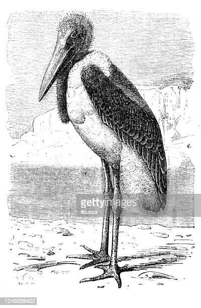 illustrations, cliparts, dessins animés et icônes de illustration antique : cigogne de marabou (leptoptilos crumenifer) - marabout