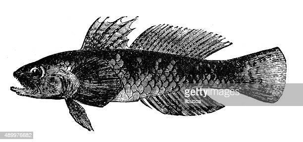 Anticuario ilustración de un goby (Gobioides