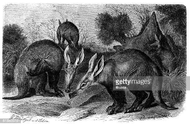 antique illustration of aardvark (orycteropus afer) or cape anteater - aardvark stock illustrations