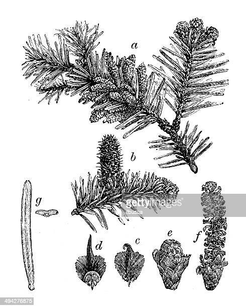 antique illustration of abies alba (silver fir) - pine wood material stock illustrations, clip art, cartoons, & icons