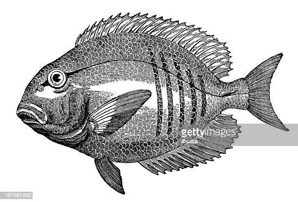 antique illustration of acanthurus or surgeonfish - acanthuridae stock illustrations, clip art, cartoons, & icons