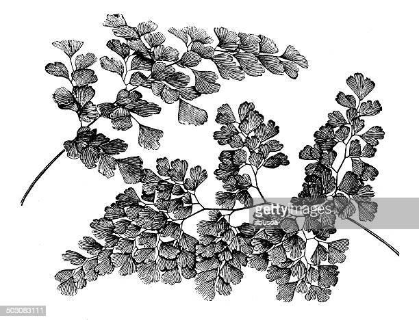 Antique illustration of Adiantum capillus-veneris and Adiantum cuneatum