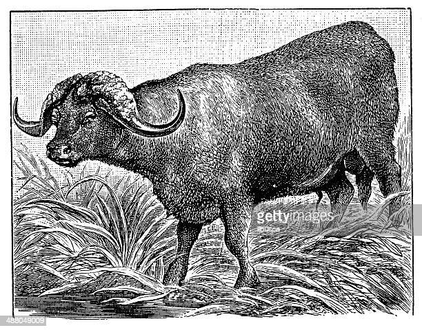 antique illustration of african buffalo or cape buffalo (syncerus caffer) - african buffalo stock illustrations, clip art, cartoons, & icons
