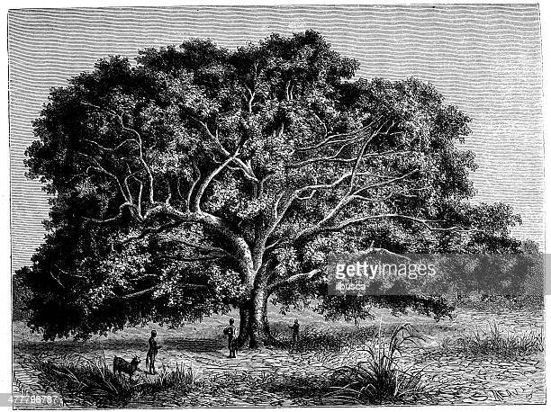antique illustration of african ficus tree - fig tree stock illustrations
