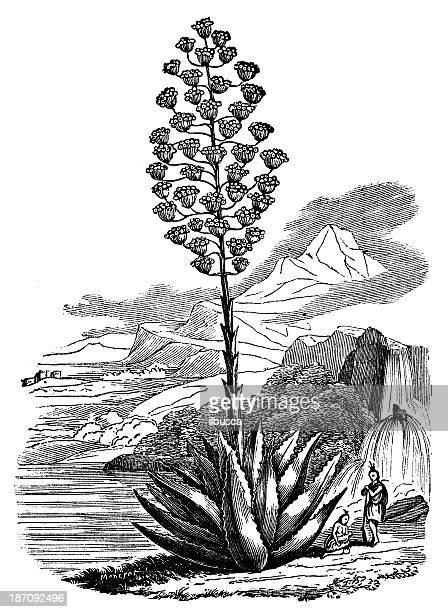 Antique illustration of Agave americana (century plant, maguey)